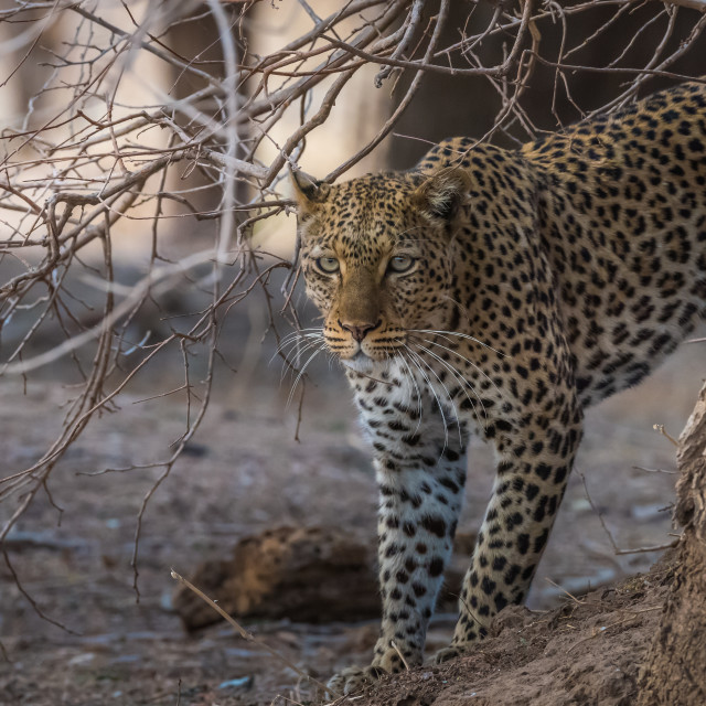 """Leopard emerging from behind a tree - Zambia"" stock image"