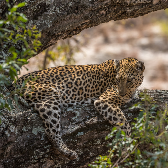 """Leopard lying on large tree branch"" stock image"