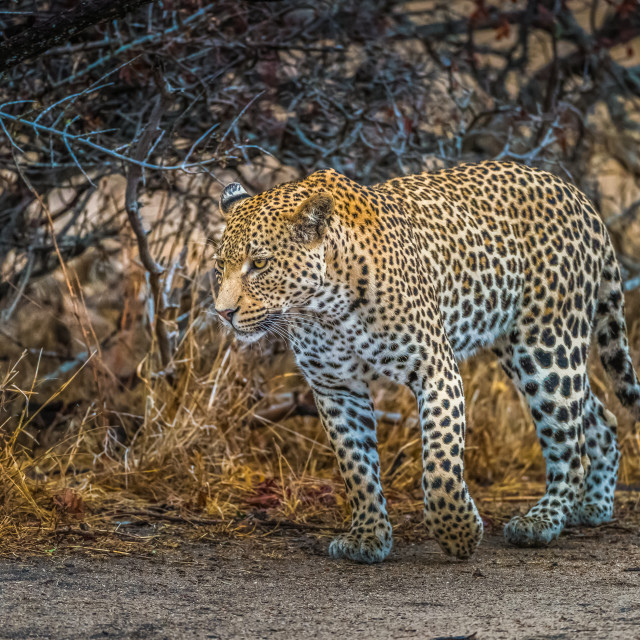 """Leopard walking on river bank"" stock image"