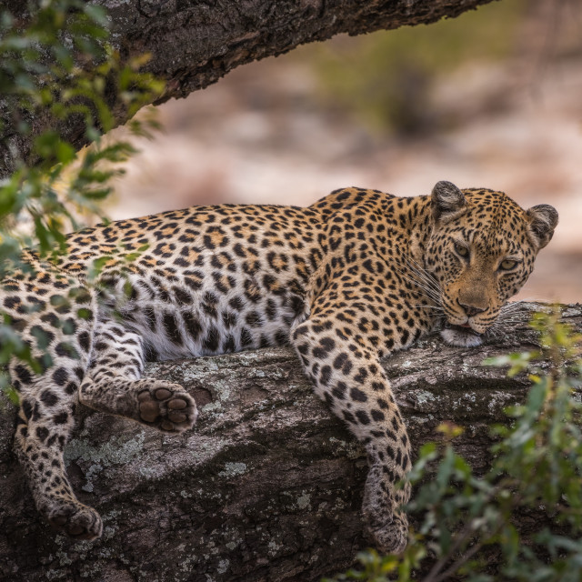 """Leopard on a tree branch"" stock image"