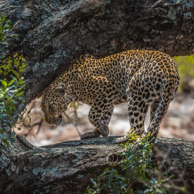 """Leopard turning on branch - Timbavati"" stock image"