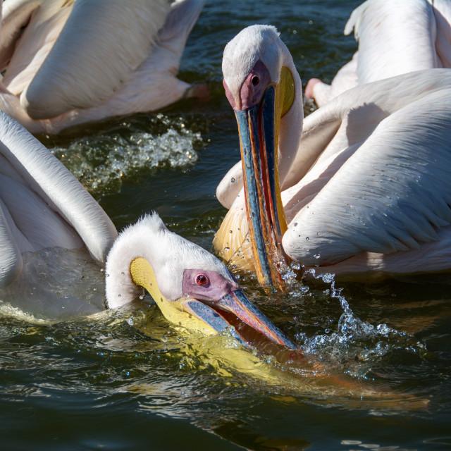 """""""pelican birds"""" stock image"""