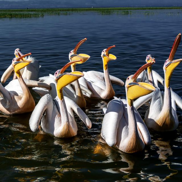 """pelicans"" stock image"