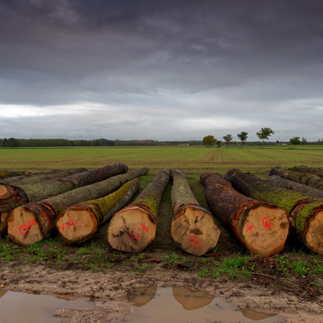 """Low Sky on cut tree trunks"" stock image"