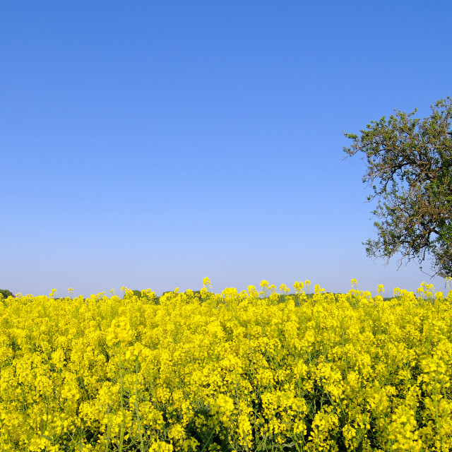 """Lonely tree in Rapeseed field"" stock image"