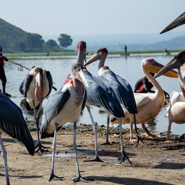 """marabou bird"" stock image"