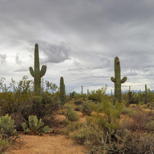 """Saguaro Cactus Under Gray Arizona Skies"" stock image"