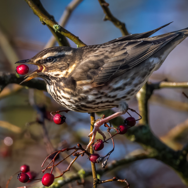 """""""Red Wing feeding on Berries"""" stock image"""