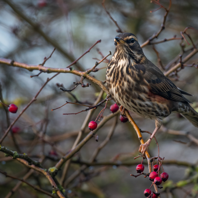 """""""Red Wing in the Horthorn bush"""" stock image"""