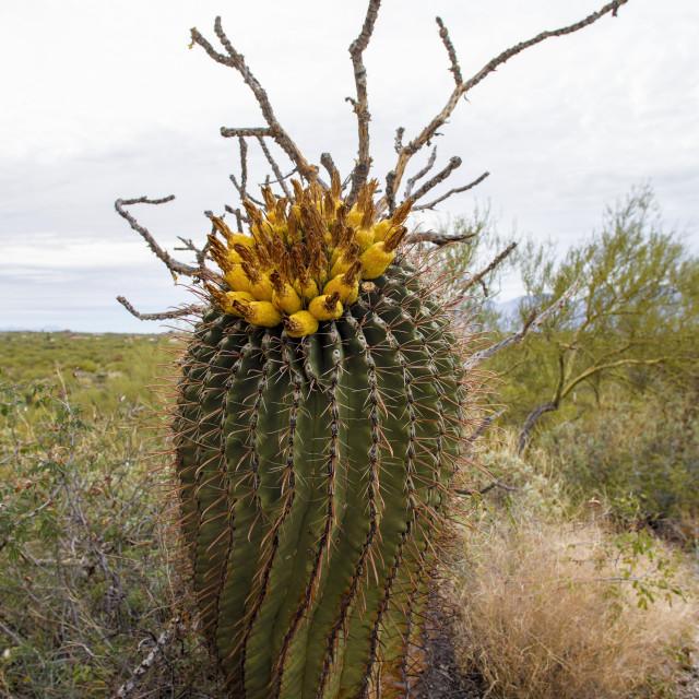 """Spiraling Barrel Cactus in the Desert"" stock image"