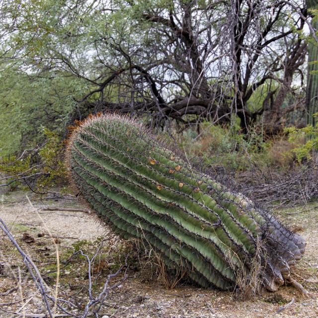 """Barrel Cactus Falling Over - But Still Alive"" stock image"
