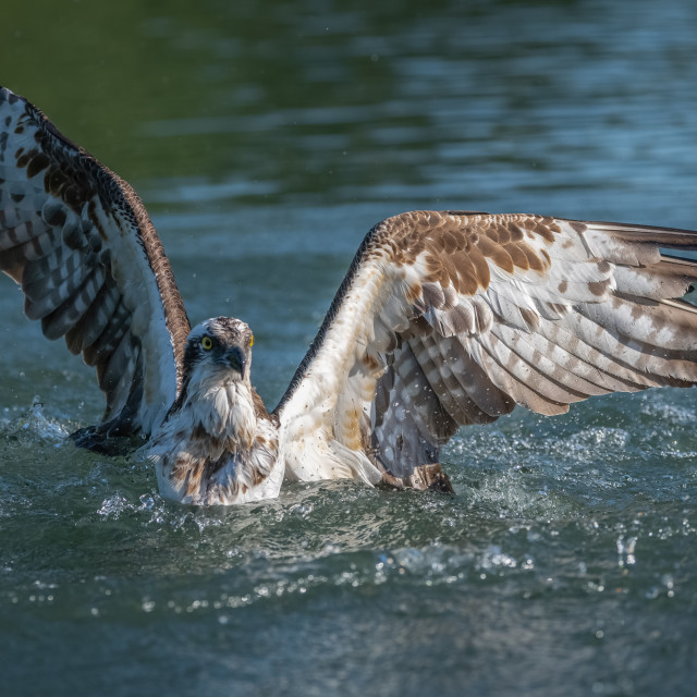 """Osprey after dive"" stock image"