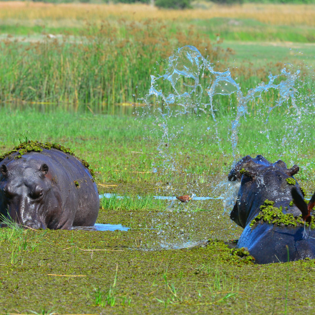 """Two Hippos in territorial dispute"" stock image"