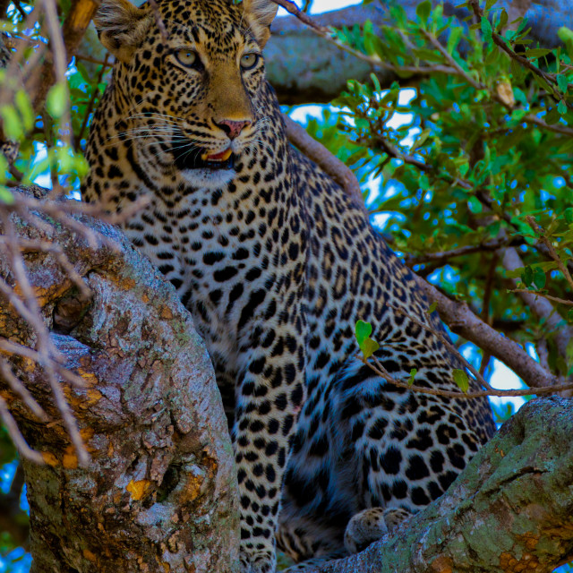 """Leopard on haunches high up in a tree"" stock image"