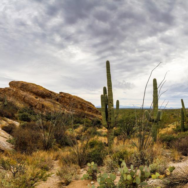 """Saguaro Cactus in a Line by Javelina Rocks"" stock image"