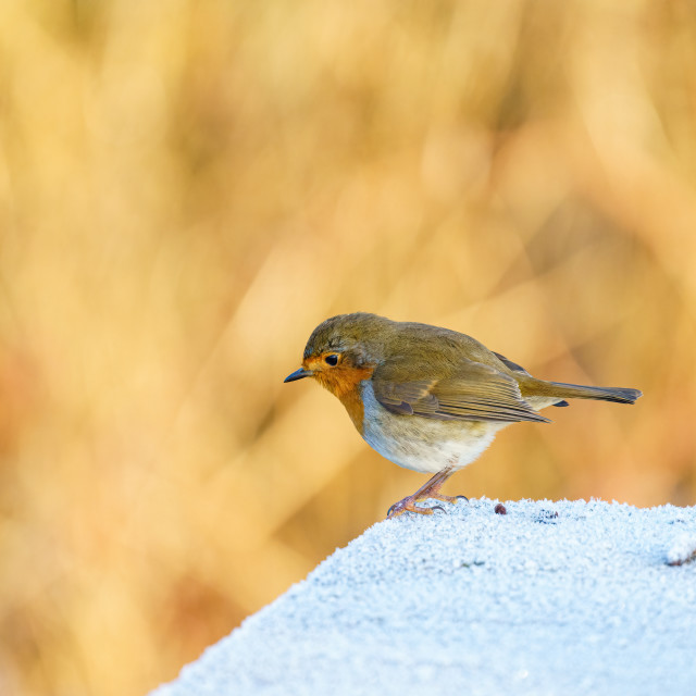"""European Robin (Erithacus rubecula) perched on a frosty concrete block, taken..."" stock image"