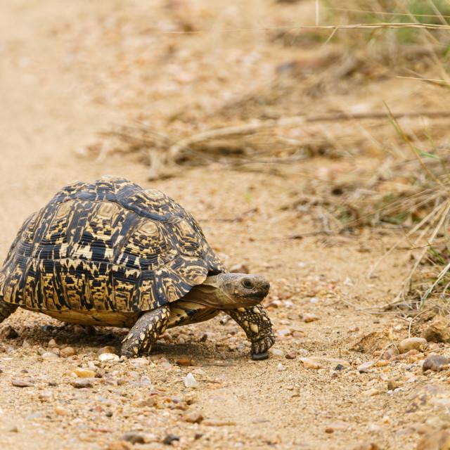 """Leopard Tortoise (Stigmochelys pardalis), taken in South Africa"" stock image"