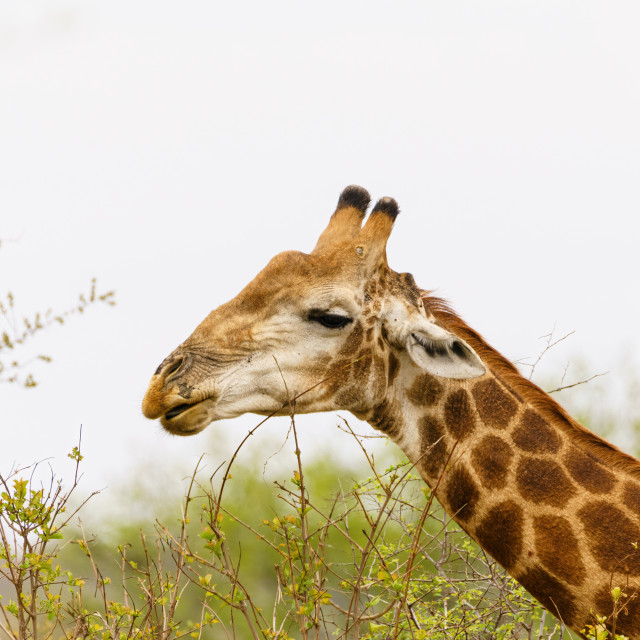 """Giraffe (Giraffa camelopardalis), taken in South Africa"" stock image"