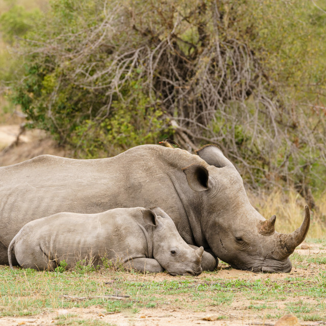 """White Rhinoceros (Ceratotherium simum) mother and baby resting, taken in..."" stock image"