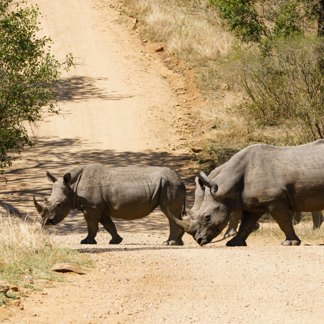 """White Rhinoceros (Ceratotherium simum) crossing dirt road"" stock image"