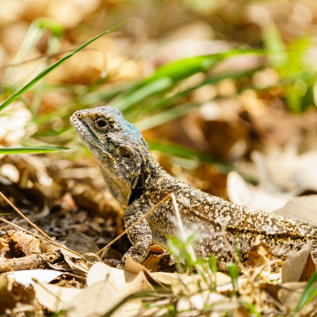"""Spiny Agama (Agama hispida) in South Africa"" stock image"