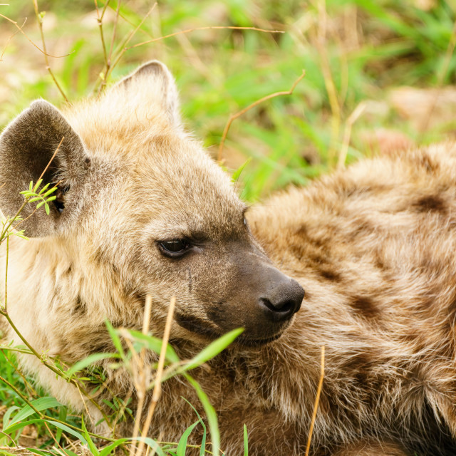 """Spotted Hyena (Crocuta crocuta) juvenile resting, taken in South Africa"" stock image"