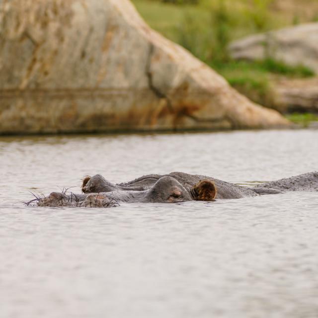 """""""Hippopotamus (Hippopotamus amphibius) in South Africa"""" stock image"""