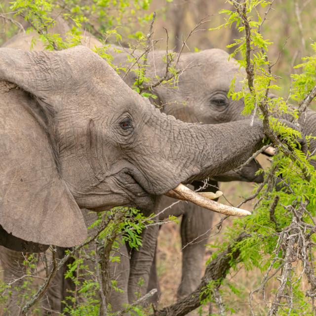 """""""African Elephant (Loxodonta africana)"""" stock image"""