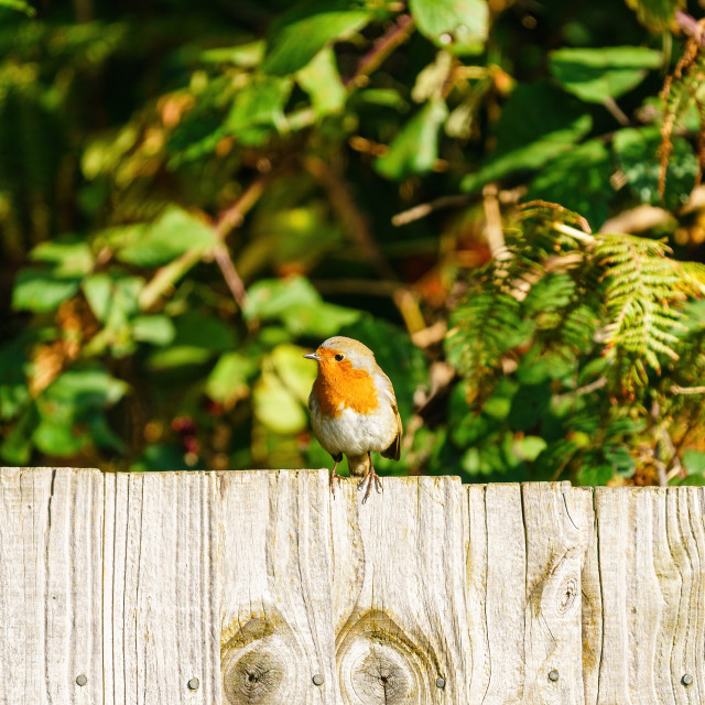 """European Robin (Erithacus rubecula) perched on a fence, taken in"" stock image"