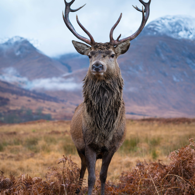 """Monarch of Glen Etive"" stock image"