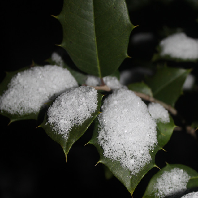 """holly leaves and snow"" stock image"