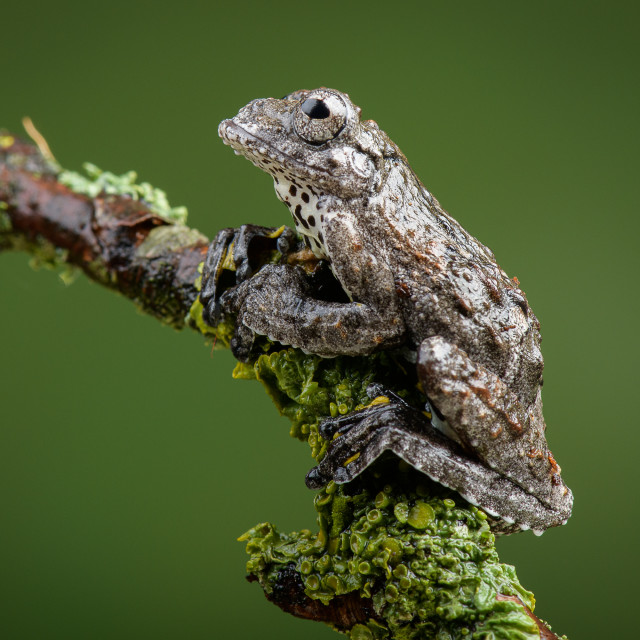 """Marbled Tree Frog"" stock image"