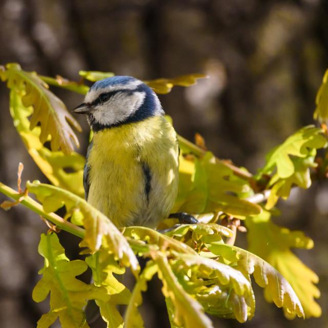 """Eurasian blue tit bird (Cyanistes caeruleus)."" stock image"