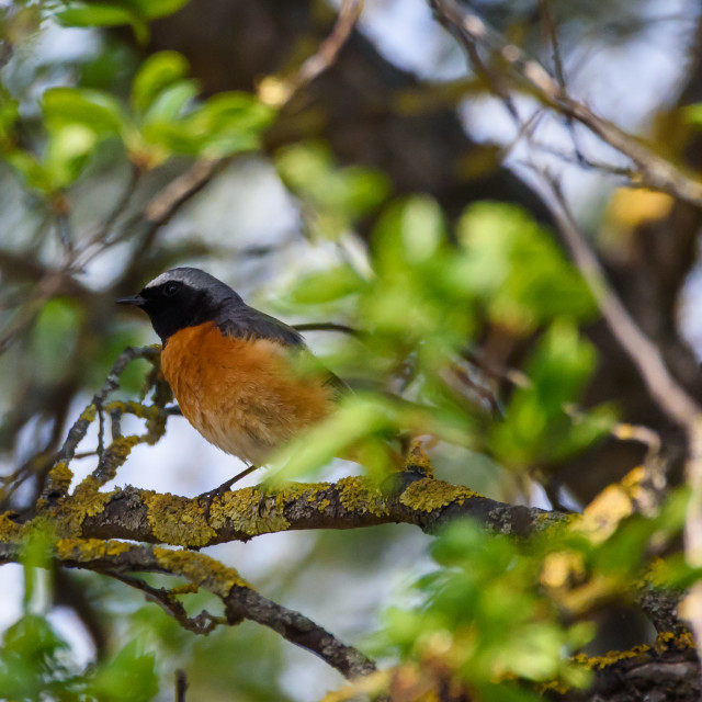 """Common redstart (Phoenicurus phoenicurus)bird."" stock image"
