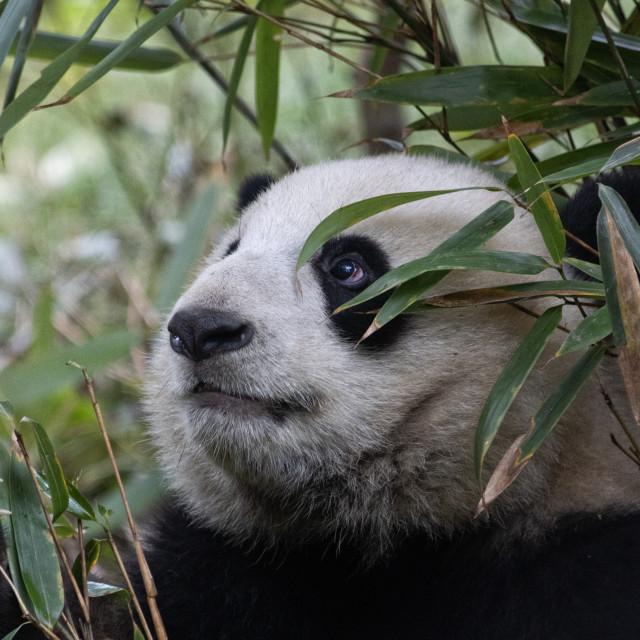 """Panda Hiding in the bamboo"" stock image"