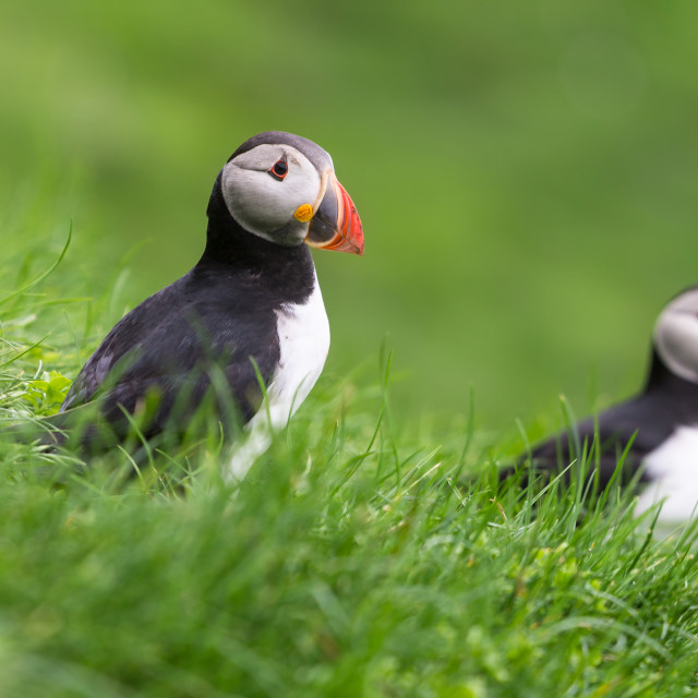 """Puffins of the Mykines island, Faroe Archipelago"" stock image"