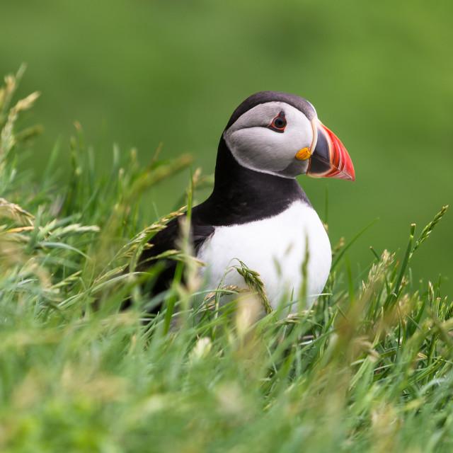"""Puffin of the Mykines island, Faroe Archipelago"" stock image"
