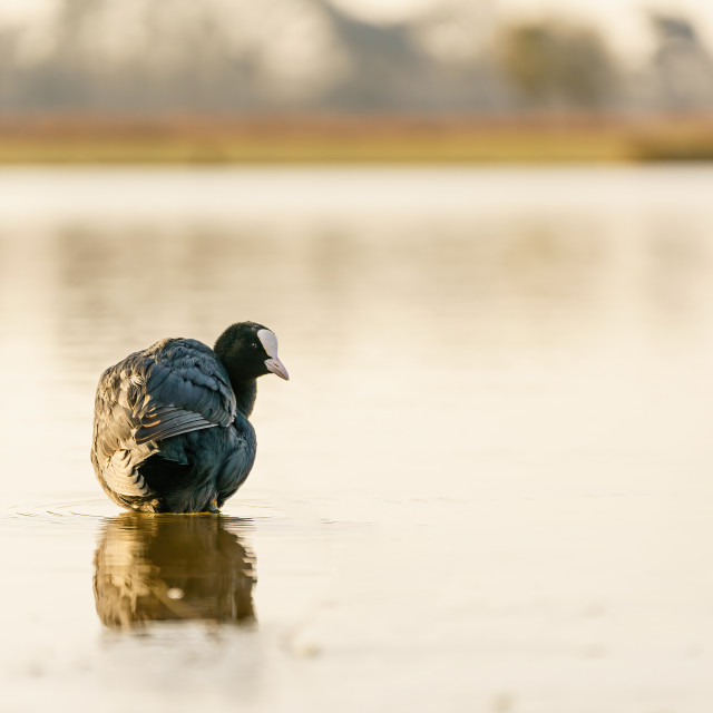 """Coot (Fulica atra) on a still pond, looking back at camera"" stock image"
