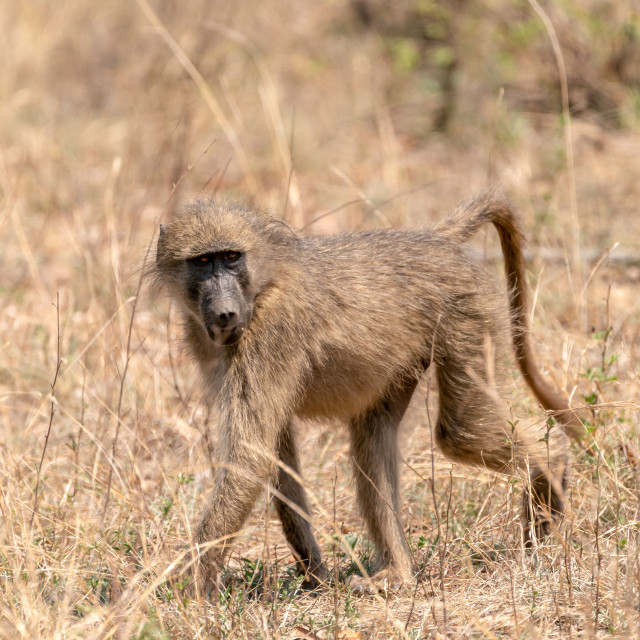 """Baboon (Papio anubis) taken in Kruger Park, South Africa"" stock image"