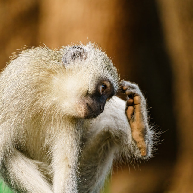 """Vervet Monkey (Chlorocebus aethiops) sratching its head, taken in South Africa"" stock image"