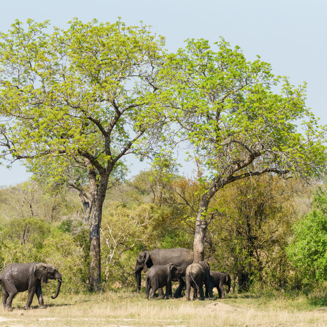 """African Elephant (Loxodonta africana) family cleaning themselves on large trees"" stock image"
