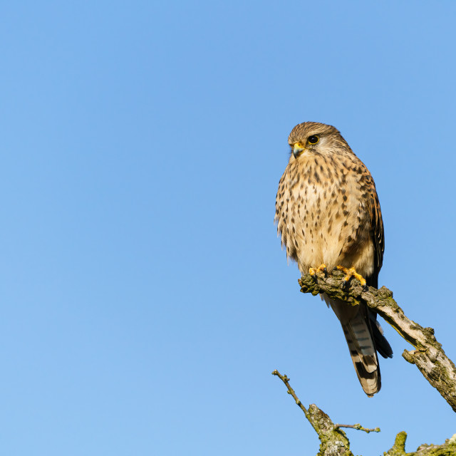 """Common Kestrel (Falco tinnunculus) perched on a branch against a bright blue sky"" stock image"
