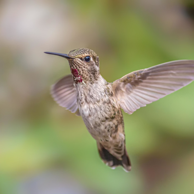 """Anna's Hummingbird Captured in Flight, Northern California"" stock image"