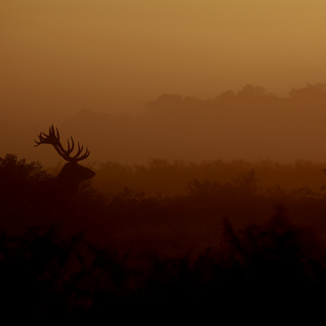 """A Red deer stag at the crack of dawn"" stock image"