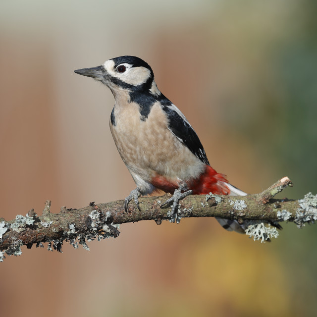 """A Great spotted woodpecker on a lovely perch"" stock image"