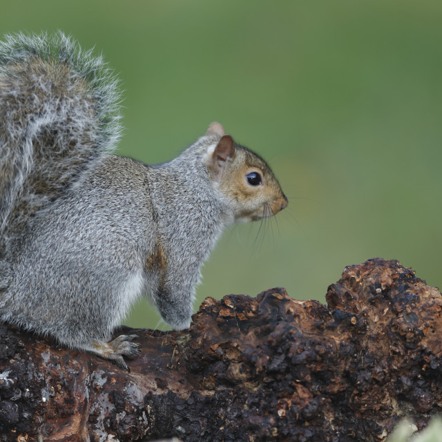 """A Eastern grey squirrel up close"" stock image"