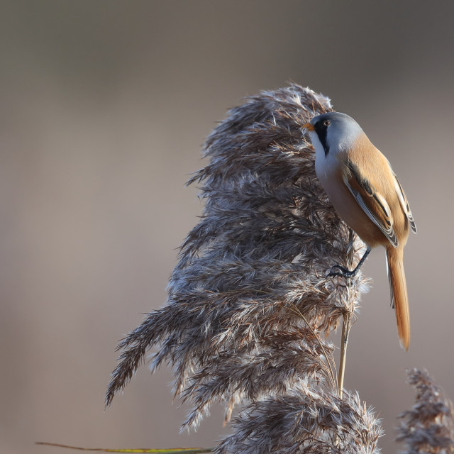 """A bearded reedling male"" stock image"