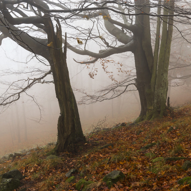 """""""Old beech trees"""" stock image"""