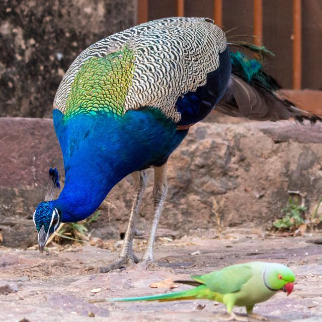 """Ranthambore Park Peacock and Parakeet"" stock image"