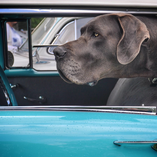 """""""Back Seat Driver"""" stock image"""